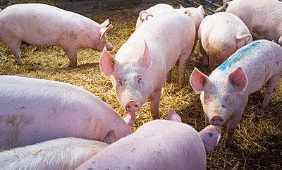 Schweine - p1053m793707 von Joern Rynio
