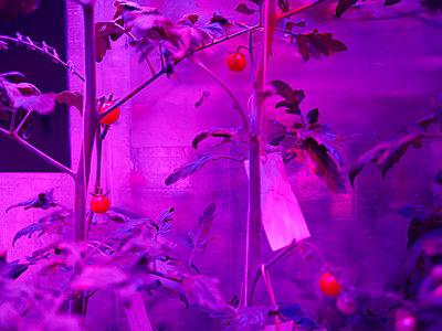 Tomatenpflanze - p1188m1002838 von Henk Wildschut