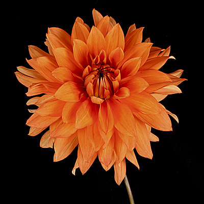 close up of orange dahlia on black - p1470m1541306 by julie davenport