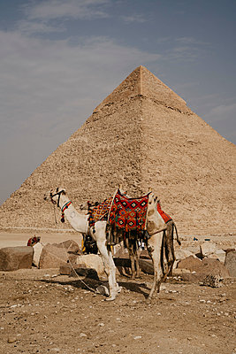 Egypt, Cairo, Two camels standing in front of Great Pyramid of Giza - p300m2267084 by letizia haessig photography