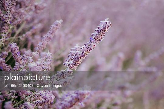 Lavender - p1166m2130407 by Cavan Images
