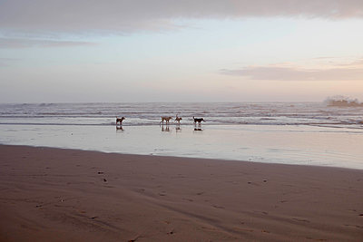 dogs on a beach at dusk - p445m1552779 by Marie Docher