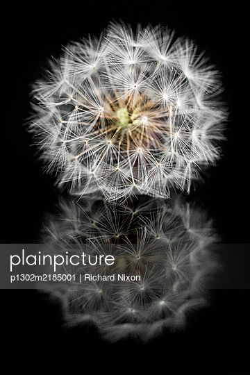 Dandelion clock on a black reflective surface - p1302m2185001 by Richard Nixon