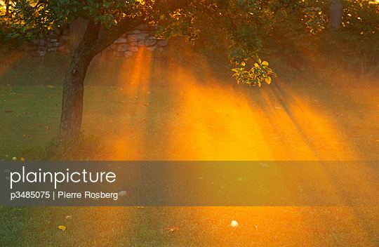 Sunbeams radiating through an apple tree in a garden - p3485075 by Pierre Rosberg