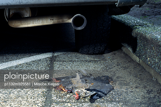 Run over pigeon - p1132m925581 by Mischa Keijser