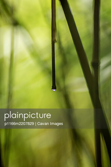 Water Drop on Bamboo Stalk in Bamboo Forest Maui - p1166m2207829 by Cavan Images