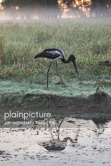 Young Jaribu bird grazing along marsh, Kakadu National Park, Australia - p301m2123147 by Tobias Titz