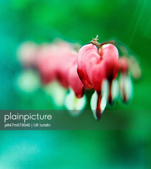 A red flower, bleeding heart. (En rød blomma, Løjtnantshjärta.) - p847m673040 by Ulf Lundin