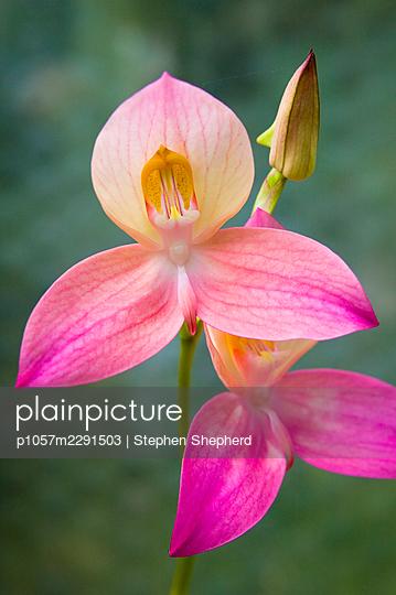 Rote Orchidee - p1057m2291503 von Stephen Shepherd