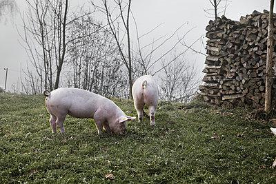Pigs - p1134m949229 by Pia Grimbühler