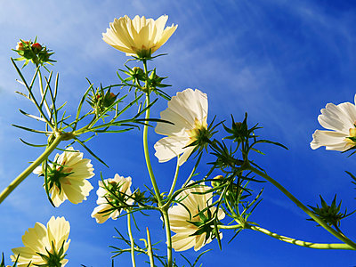 Low angle view of blossoming wildflowers against a blue sky; England - p442m2008921 by Charles Bowman