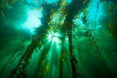 Sunlight streaming through a forest of giant kelp (Macrocystis pyrifera), off Santa Barbara Island; California, United States of America - p442m2154164 by Dave Fleetham
