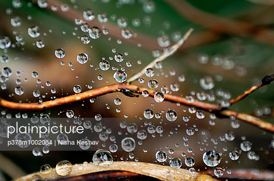 Dew drops on twig - p378m1002084 by Nisha Keshav