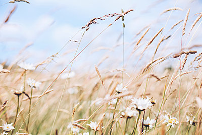 Meadow with wild flowers - p1006m1425240 by Danel