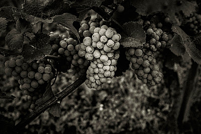 Grapes - p1088m937960 by Martin Benner