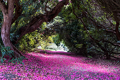 Landscape view with lush trees and bright pink blossoms covering a path. - p1100m2010762 by Mint Images
