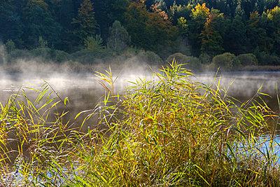 Germany, Bavaria, Upper Bavaria, Deininger Weiher, reed and morning fog - p300m1563094 by Martin Siepmann