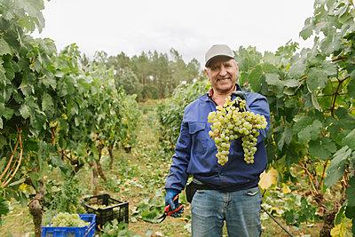 Portrait of a smiling man harvesting grapes in vineyard - p300m2140080 by Hernandez and Sorokina
