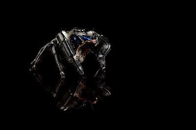 Regal jumping spider, Phidippus regius, with prey on black ground - p300m965320f by Mark Johnson