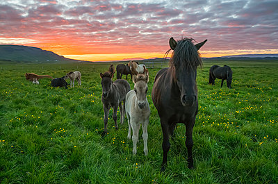 Icelandic horses walking in a grass field at sunset; Hofsos, Iceland - p442m2004310 by Robert Postma