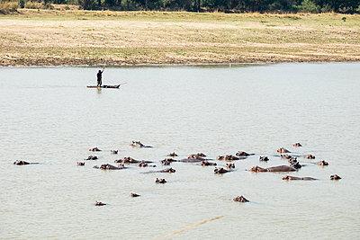 Flusspferde im Südluangwa-Nationalpark - p842m1538225 von Renée Del Missier