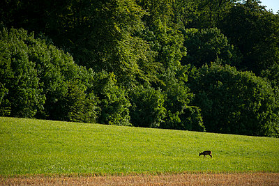 Grazing deer - p1041m865308 by Franckaparis