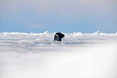 Russia, Lake Baikal, Baikal seal looking out from ice hole - p300m1052820f by Gerald Nowak