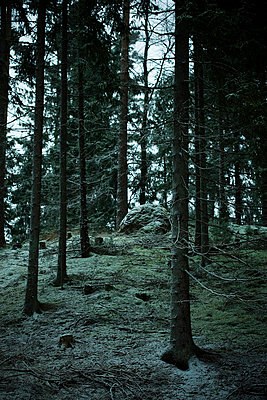 Scandinavian Peninsula, Sweden, Skåne, View coniferous trees in forest - p5755504f by Peter Rutherhagen