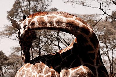 Giraffe - p1020m777426 by Aaron Alexandersson