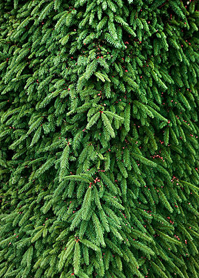 Evergreen tree - p312m710659f by Bruno Ehrs