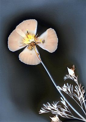 Getrocknete Blume - p945m2278999 von aurelia frey