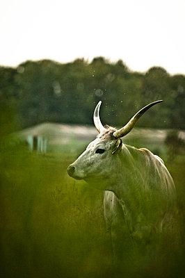 Weißer Bulle im Gras - p1273m1094298 von Melanka Helms