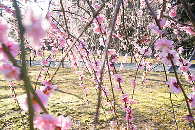 Japan, Kyoto, twigs of a blossoming plum tree - p300m965381f by Florian Löbermann