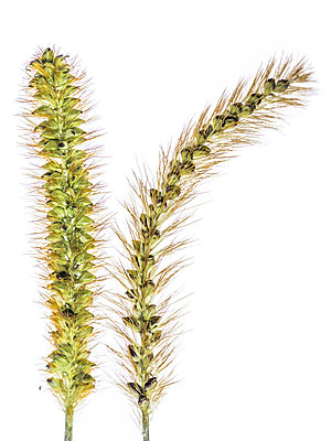 Ears of wild grass - p401m1176653 by Frank Baquet