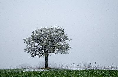 Baum im Winter - p992m1462244 von Carmen Spitznagel