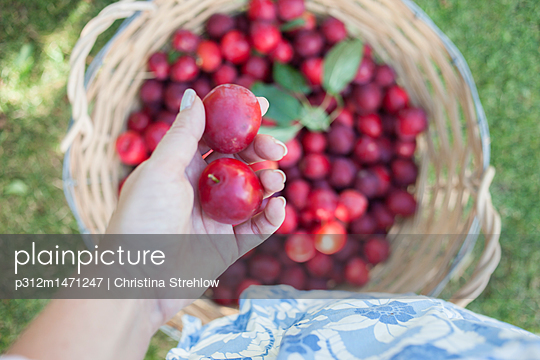 Hand holding plums - p312m1471247 by Christina Strehlow