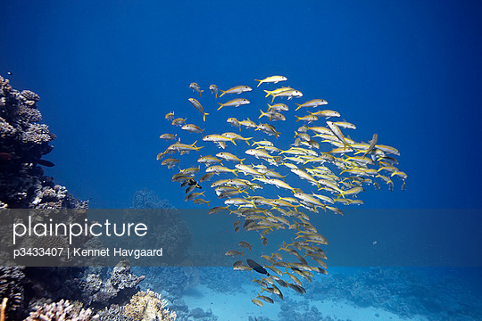 A shoal of Yellowstripe Goatfish hanging off the reef of Marsa Shagra - p3433407 by Kennet Havgaard