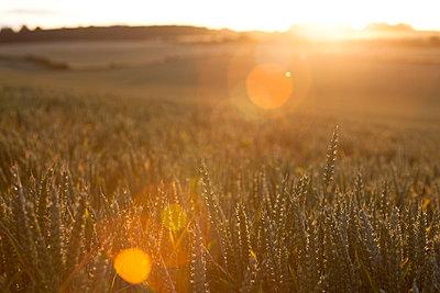 Wheat field in sunset light - p1057m852940 by Stephen Shepherd