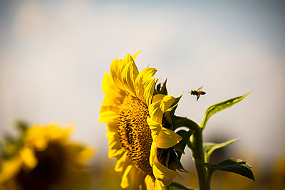 Bee flying by sunflower against sky - p1166m1546140 by Cavan Social