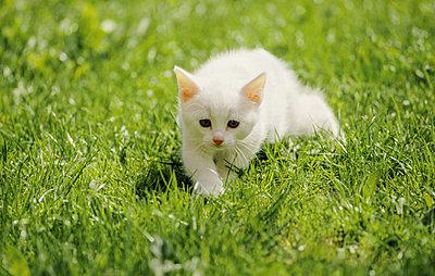 White kitten stalking in the grass - p1418m1572144 by Jan Håkan Dahlström