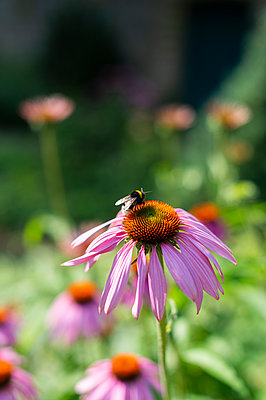 Echinacea - p1609m2257947 by Katrin Wolfmeier