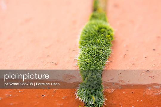 Moss growing through bricks - p1628m2233798 by Lorraine Fitch