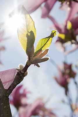Magnolia leaves - p312m956766f by Christina Strehlow