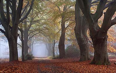 European Beech trees along road in autumn, Netherlands - p884m1356914 by Arjan Troost/ Buiten-beeld