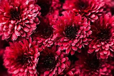 Closeup on red chrysanthemum flowers - p1166m2095256 by Cavan Images