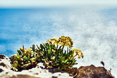 Sukkulente an einer Steilküste - p1696m2294282 von Alexander Schönberg