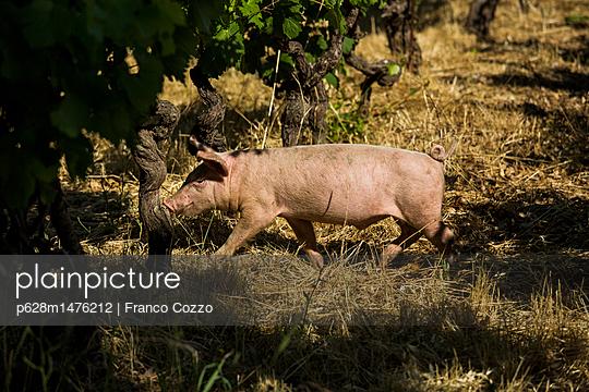 Schwein im Weinberg - p628m1476212 von Franco Cozzo