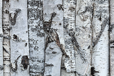 Birch bark - p1168m1563597 by Thomas Günther