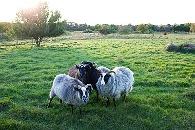 Four sheep on pasture - p312m696487f by Hans Bjurling