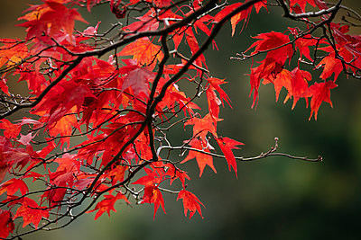 Maple leaves during autumn, Rydal Mount, Rydal, Lake District, Cumbria, England, United Kingdom - p871m2068920 by Ben Pipe
